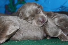Silver-Lab-Puppies-for-Sale-at-2-weeks-old-001