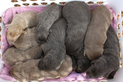 Silver-Lab-Puppies-for-Sale-at-2-weeks-old-012