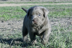 Silver-Lab-Puppies-for-Sale-at-4-weeks-old-001
