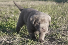 Silver-Lab-Puppies-for-Sale-at-4-weeks-old-006