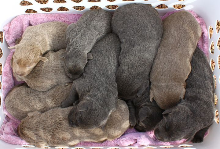 Silver Lab Puppies for Sale 006