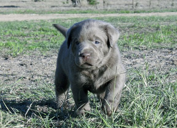 Silver Lab Puppies for Sale 007