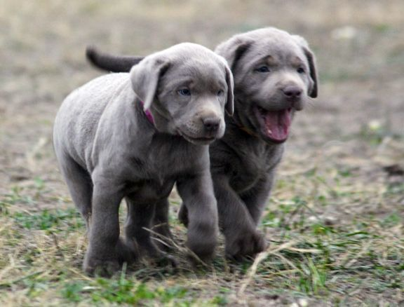 Silver Lab Puppies for Sale 010
