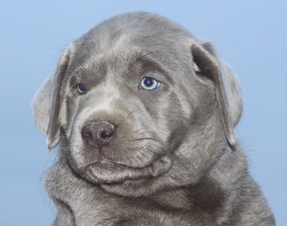 Silver Lab Puppies for Sale 012