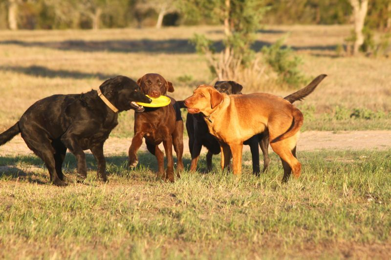 Labrador-Retrievers-003