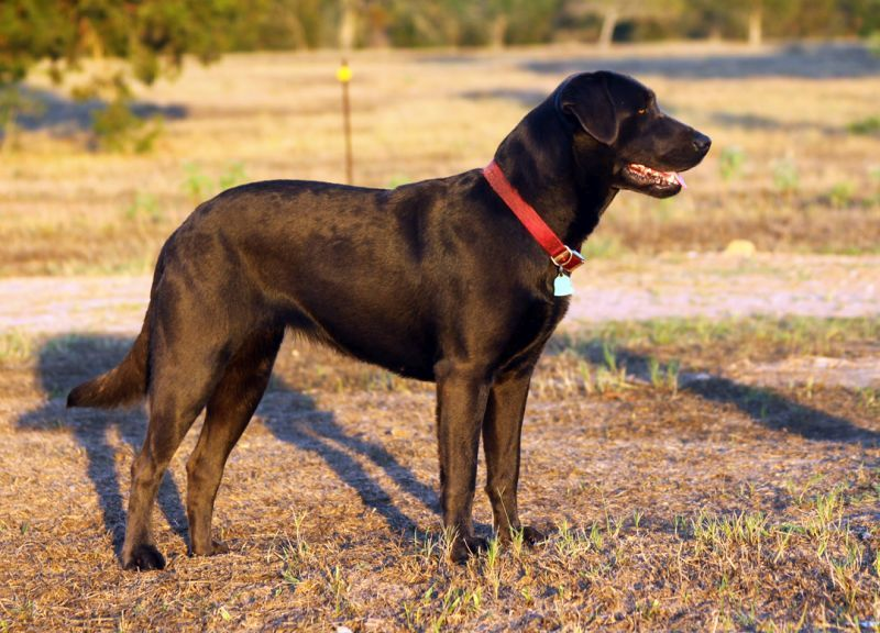 Labrador-Retrievers-007
