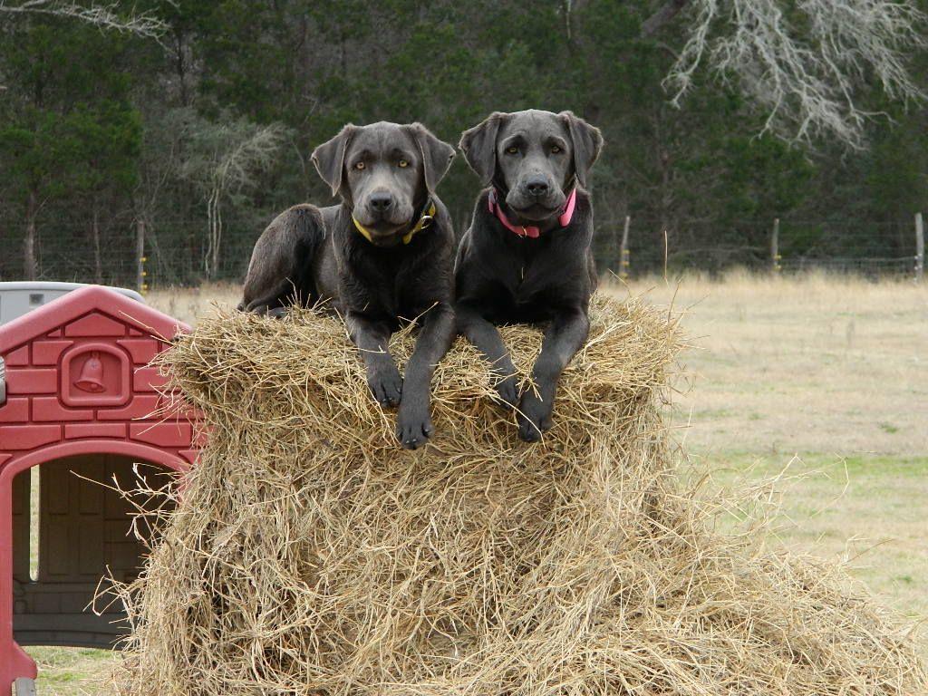 Labrador-Retrievers-008