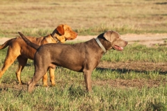 Labrador-Retrievers-001