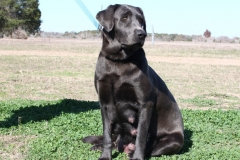 Labrador-Retrievers-004