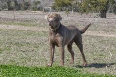 Labrador-Retrievers-005