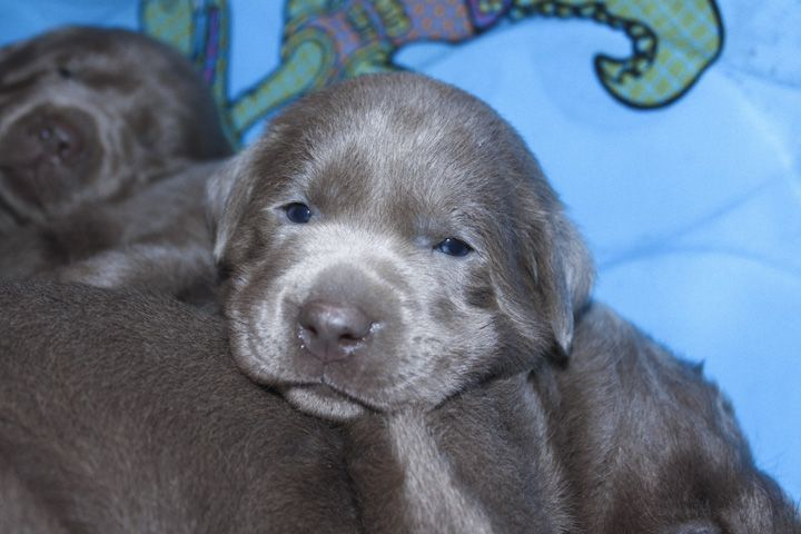 Silver-Lab-Puppies-for-Sale-at-3-weeks-old-002