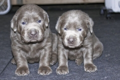 Silver-Lab-Puppies-for-Sale-at-3-weeks-old-004