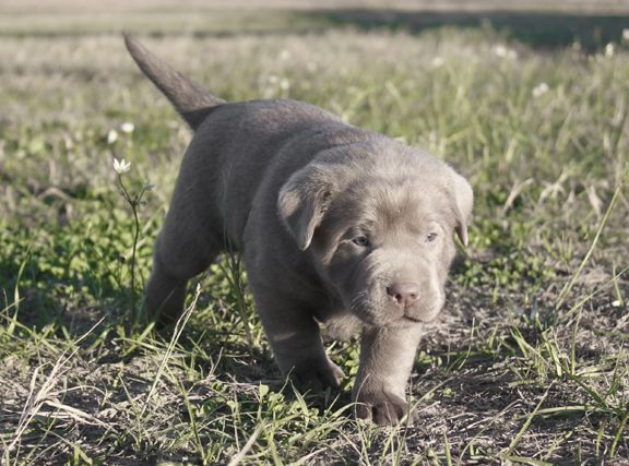 Labrador Puppies For Sale Silver Labs For Sale Dog Training