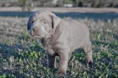 Silver-Lab-Puppies-for-Sale-at-4-weeks-old-003