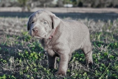 Silver-Lab-Puppies-for-Sale-at-4-weeks-old-007