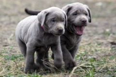 Silver-Lab-Puppies-for-Sale-at-6-weeks-old-006