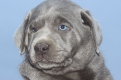 Silver-Lab-Puppies-for-Sale-at-6-weeks-old-009