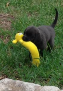 silver-lab-puppy-2