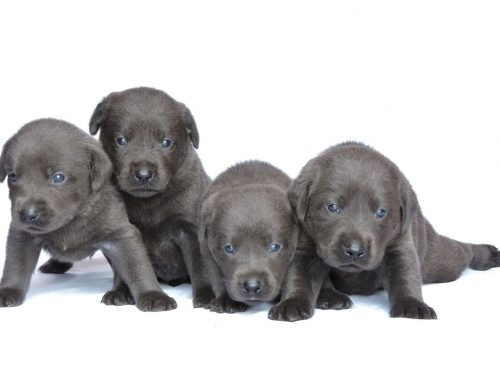 Silver Lab Puppies for Sale – 8-21-2019