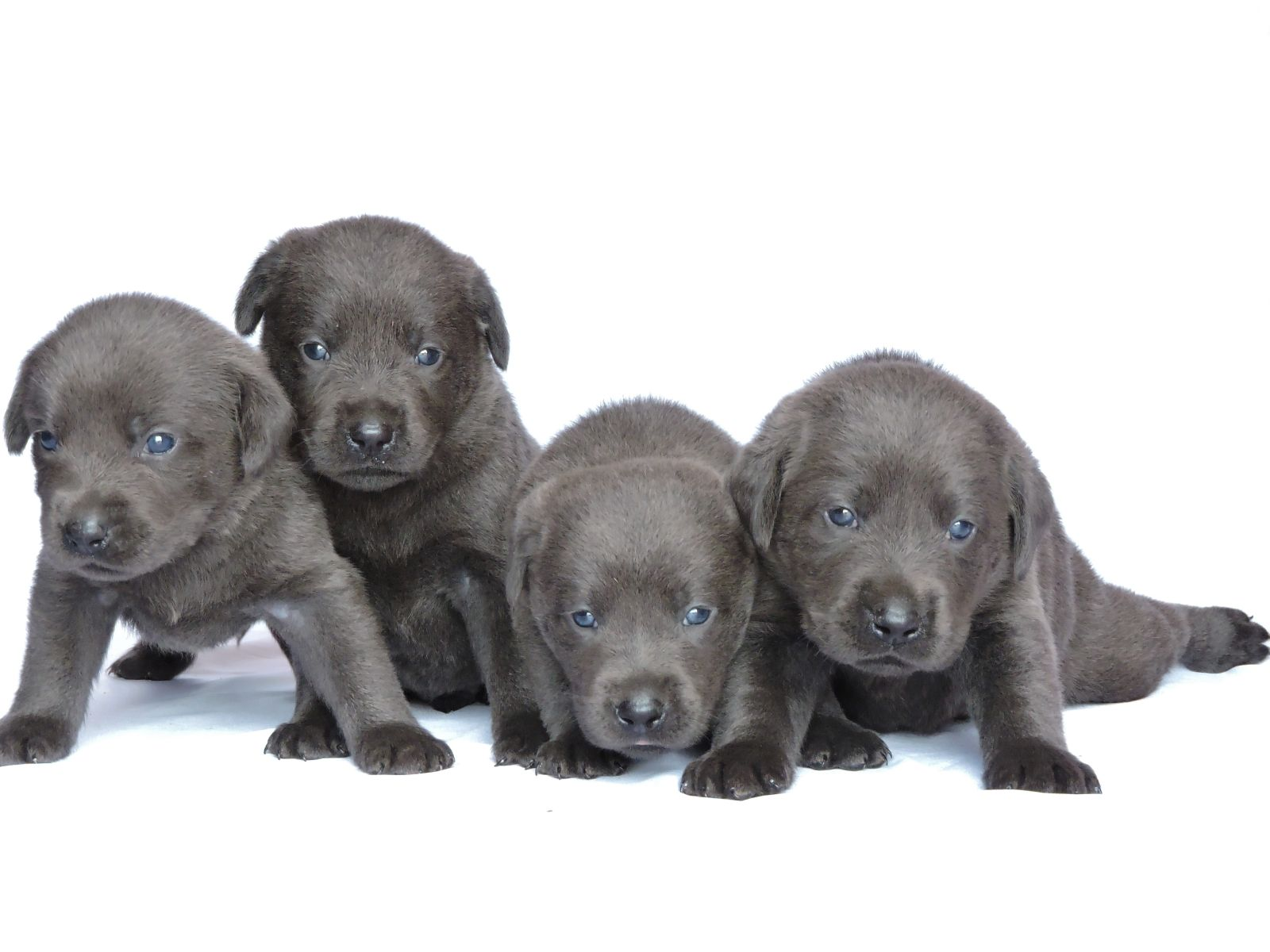 Labrador Puppies for Sale – Silver Labs for Sale – Dog