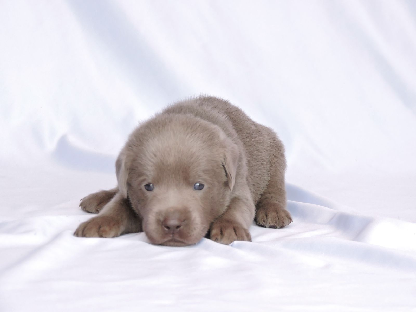 Silver Lab Puppies Mn