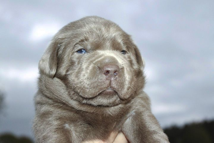 Labrador Puppies For Silver Labs