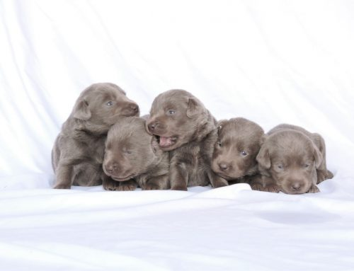 Silver Lab Puppies for Sale – 11-4-2019