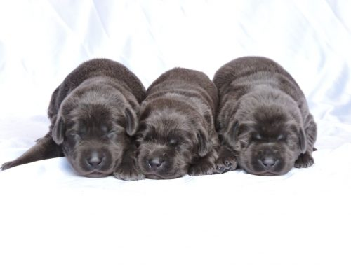 Silver Lab Puppies for Sale – 10-3-2019