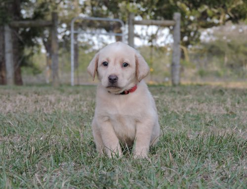 Silver Lab Puppies for Sale – 11-14-2019