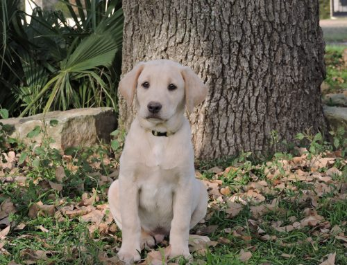 Silver Lab Puppies for Sale – 12-4-2019