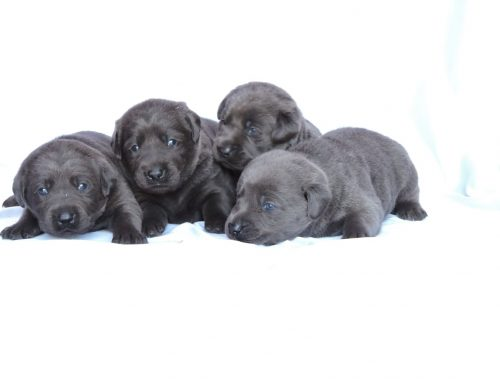 Silver Lab Puppies for Sale – 1-2-2020