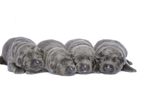 Silver Lab Puppies for Sale – 2-24-2020
