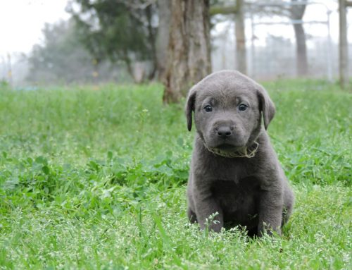 Silver Lab Puppies for Sale – 2-13-2020