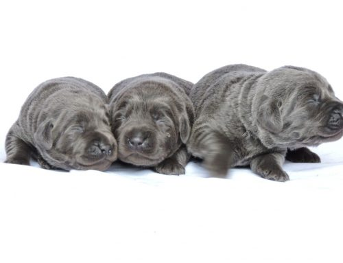 Silver Lab Puppies for Sale – 3-3-2020