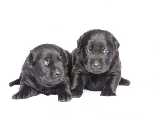 Silver Lab Puppies for Sale – 3-31-2020