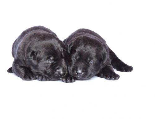 Silver Lab Puppies for Sale – 3-24-2020
