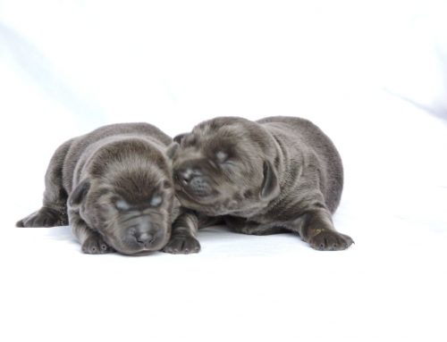 Silver Lab Puppies for Sale – 3-19-2020