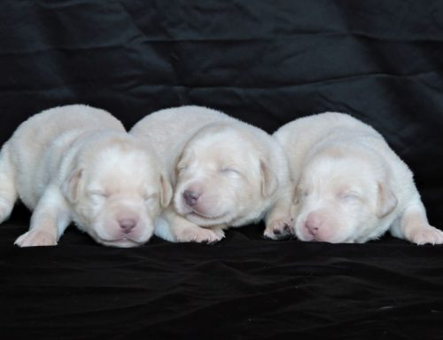 Silver Lab Puppies for Sale – 9-3-2020