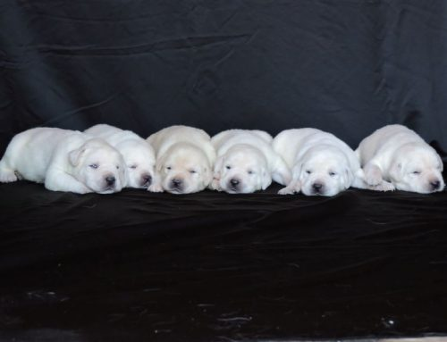 Silver Lab Puppies for Sale – 11-23-2020