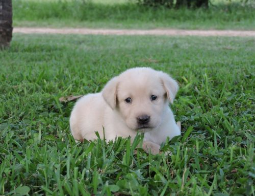 Bailey and Rugers Litter of White labs