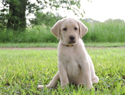 Litter of Puppies for Sale from Bailey and Ruger