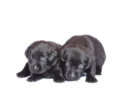 Litter of Puppies for Sale from Coco and Ruger