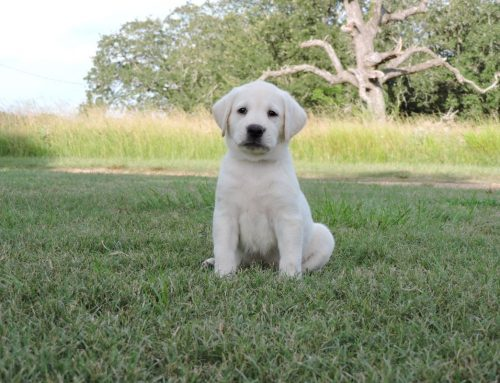 Litter of Puppies for Sale from Vegas and Major